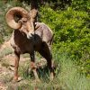 Rocky Mountain Bighorn, On South Platte River (with Diverted Colorado River Water) Near Denver