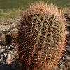 Barrel Cactus In Grand Canyon, Arizona
