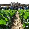 Yuma, Arizona: Colorado River Delta Water Irrigates Most Americans' Winter Lettuce